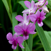 pink_orchid