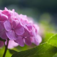 purple_hydrangea