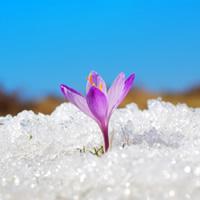 snow_crocus
